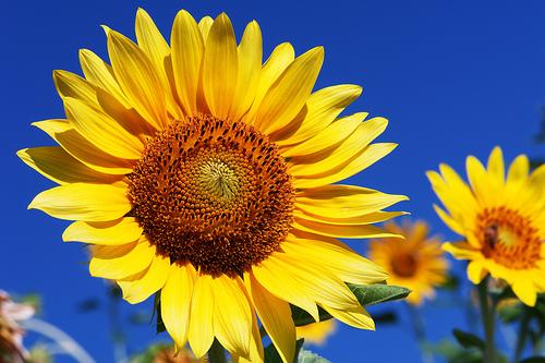 Floarea soarelui  e cu 30% mai scumpă.  Cu cât creşte preţul uleiului?