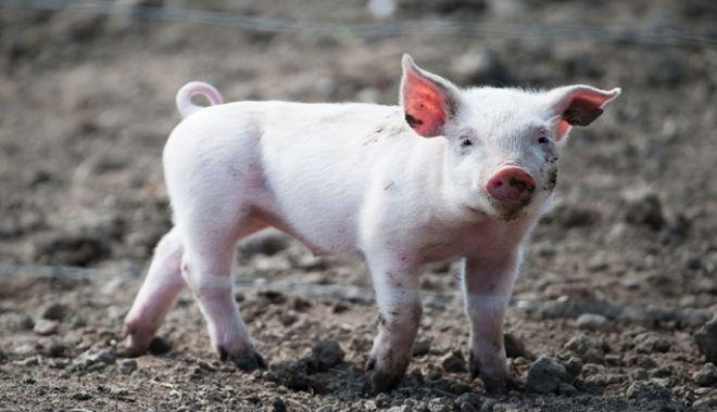 Un cuplu a adoptat un purcel de la un adăpost de animale și l-a mâncat - purcel-1551790048.jpg