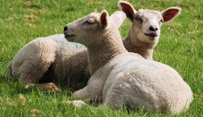 Foto: România exportă 800.000 de ovine în Iran