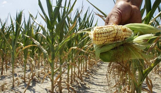 Foto: Seceta prelungită pune în pericol culturile de porumb şi floarea soarelui