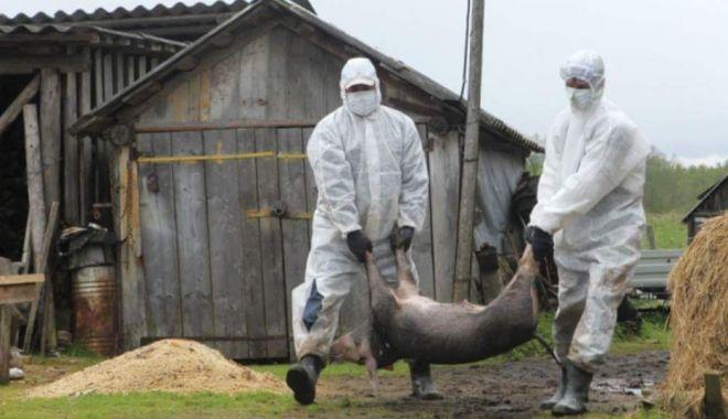 Foto: Situație extrem de gravă la Constanța. 79 de focare de pestă porcină în 39 de localități din județ