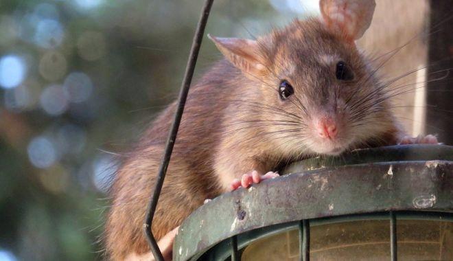 Marile oraşe ale lumii caută soluţii împotriva şobolanilor - sobolan-1624349083.jpg