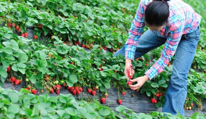 Foto: Spaniolii vor români pentru munca  la câmp. Câţi bani se pot câştiga
