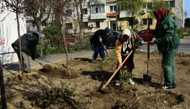 Foto: Sute de arbuşti ornamentali, plantaţi de administrația locală în Constanţa