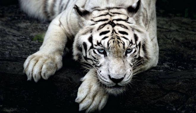 Foto: Îngrijitor de la o grădină zoologică, sfâșiat de un exemplar rar de tigru alb