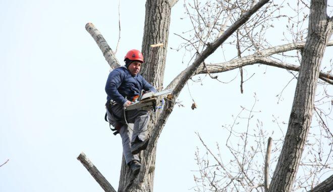 Administrația locală continuă toaletarea arborilor din Constanța - toaletarea-1584126357.jpg