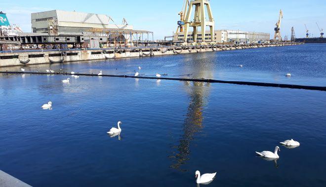 Ucigașul lebedelor din portul Constanța a fost identificat! Păsările au fost omorâte de gripa aviară - ucigasullebedelorsigastelordinpo-1610476373.jpg