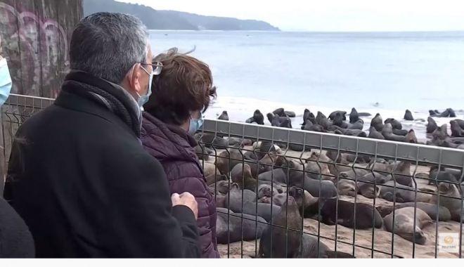 Un oraş din Chile a fost invadat de lei de mare - unoras2-1624645766.jpg