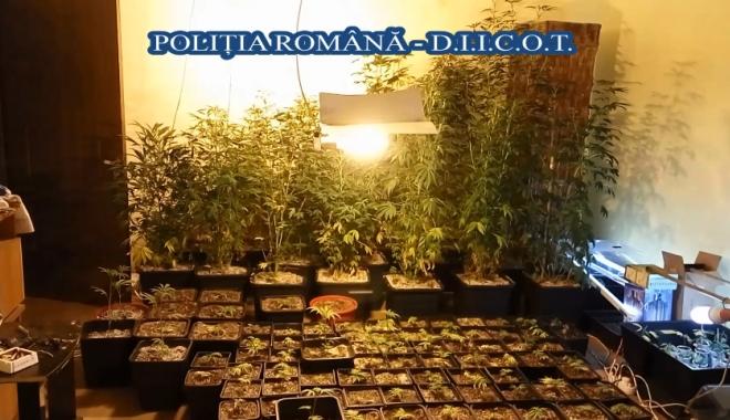 VIDEO. Cultură de cannabis cu peste 200 de plante, într-o casă din Năvodari. Mascaţii au descins în mai multe locaţii