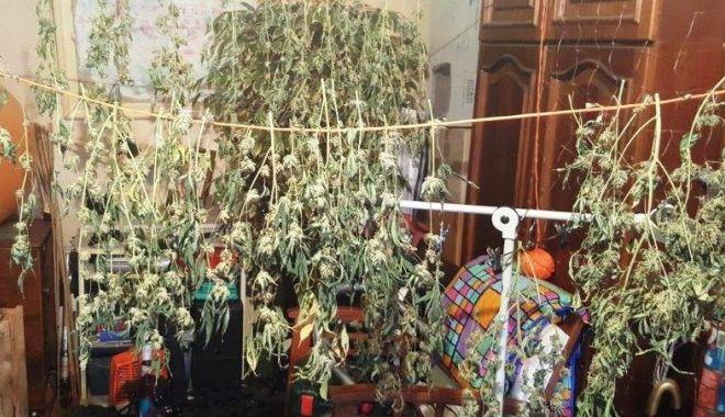 Foto: Tânăr din Constanța, arestat pentru că avea o cultură de cannabis în apartament