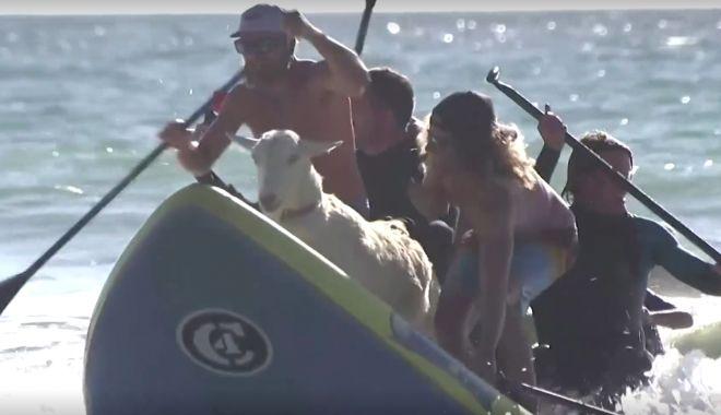Reuters / VIDEO: Surfing cu capre, pe o plajă din California - untitled-1616512044.jpg