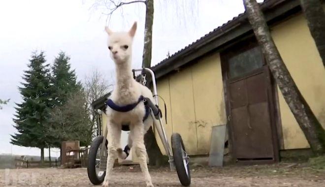 Reuters: Un pui de alpaca orfan şi născut cu handicap a învățat să meargă pe un ham cu roţi - untitled-1617950686.jpg