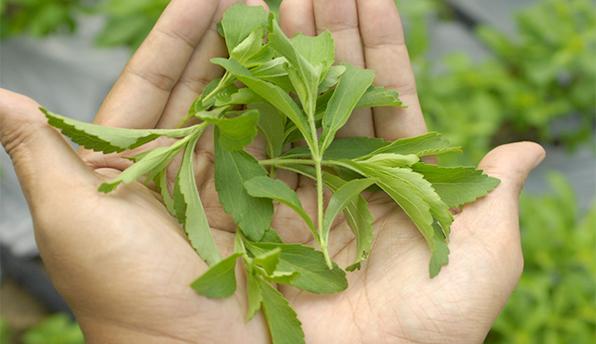 Foto: Stevia, planta pentru diabetici, a fost adaptată și pentru clima României
