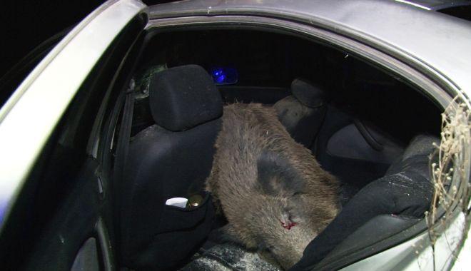 Șofer în stare gravă! Un porc de peste 100 kg i-a sărit în mașină - vlcsnap2019111207h25m59s708-1573543670.jpg