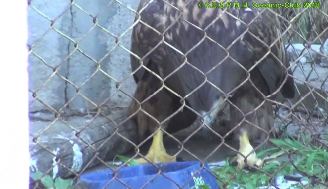 "Foto: Video / ""Oceanic Club"" a salvat un vultur electrocutat"