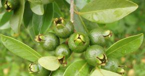 Frunzele de guava vă salvează podoaba capilară