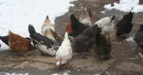 Al doilea focar  de gripă aviară  în Constanţa.  Se înăspresc măsurile