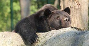 POVESTE CUTREMURĂTOARE! A murit Max, ursul din faţa Castelului Peleş. A fost drogat cu bere, ochii i-au fost scoşi cu boldul