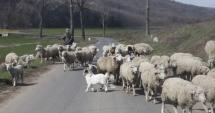 SCENE DE GROAZĂ! Turmă de oi spulberată de o şoferiţă. 20 de animale au fost ucise pe loc
