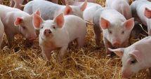 200 de porci sacrificaţi într-o noapte la Galaţi din cauza unui zvon infirmat ulterior