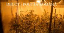 VIDEO. Creştea cannabis în apartament, la Constanţa