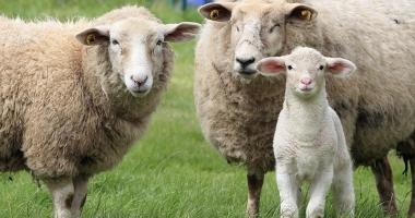 32.000 de fermieri s-au înscris la ajutorul pentru comercializarea lânii