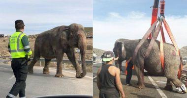 TERIBIL ACCIDENT! Autostradă blocată de elefanți evadați dintr-un camion răsturnat