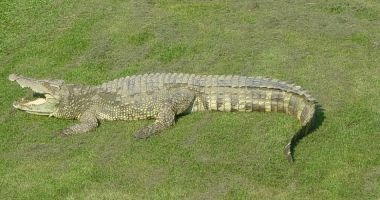 Opt pui de crocodil siamez, specie în pericol critic de dispariție, decoperit în Cambodgia