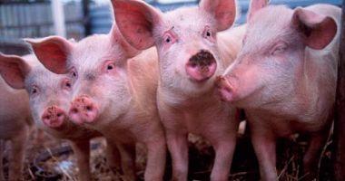 Noi recomandări din partea Comisiei Europene în privinţa pestei porcine