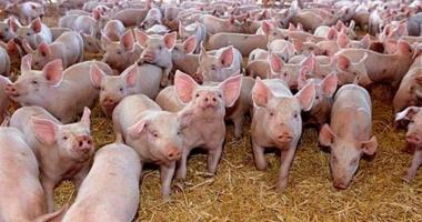 Ajutor de minimis pentru crescătorii de porcine