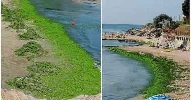 Zeci de tone de alge, adunate de pe litoral.