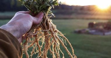 Ginsengul indian, planta care te scapă de efectele stresului