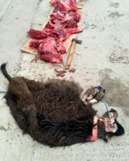 Au vânat  şi tranşat ilegal un porc mistreţ