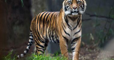Un angajat și-a pierdut brațele încercând să îmbăieze un tigru