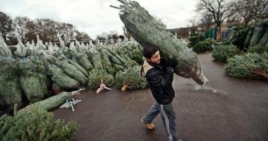 Romsilva: Amenzi de peste 1,4 milioane de lei şi 3.266 de pomi de Crăciun confiscaţi