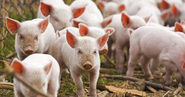 Dăncilă: peste 200 de milioane de lei pentru plata despăgubirilor pestei porcine