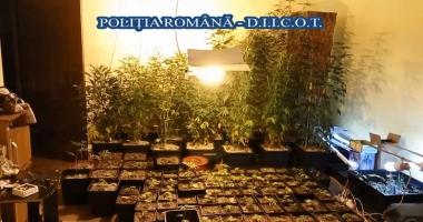 Cultură  de cannabis descoperită  de poliţiştii constănţeni