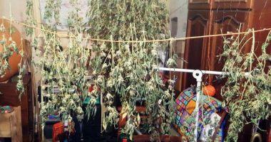Cultură de cannabis, în interiorul unui apartament.