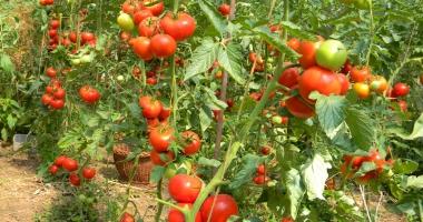 Primăria Cumpăna, informare  pentru cei  care vor să obţină  subvenţia la tomate