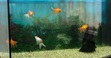 Veterinarul pe recepție. Cum se tratează peștișorii din acvariu