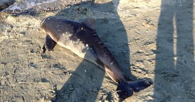 Galerie foto. Delfin eșuat pe Plaja Modern