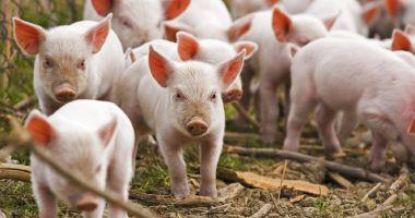 Fermierii primesc bani pentru porcii sacrificaţi