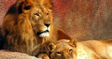 Leii dintr-un parc safari din Crimeea riscă să moară de foame