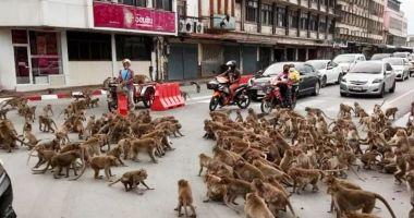 Două bande rivale de maimuţe s-au bătut într-o intersecţie din Thailanda