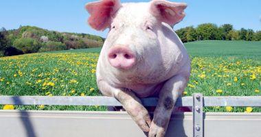 Muncitorii în fermele de porci, la mare căutare în Spania
