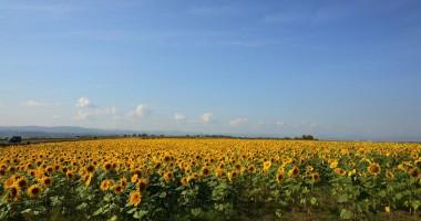 Cum a rămas un afacerist constănţean fără sute de tone de floarea-soarelui