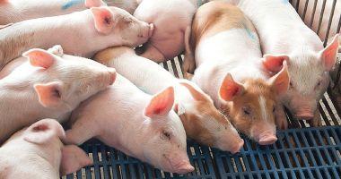 Focar de pestă porcină, la Constanța! Ce zonă este afectată