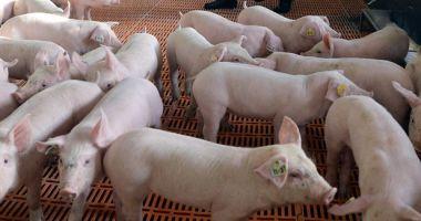 Constanța, județul fără porci de Crăciun! 39 de localități afectate de pesta porcină