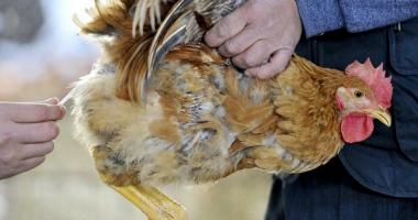 Gripa aviară, o nouă ameninţare! Mai multe zone din Constanţa considerate cu grad ridicat de risc