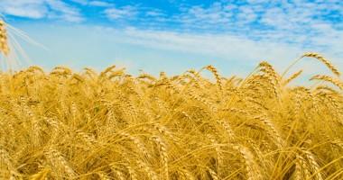 Grâul şi porumbul au revenit la preţurile anterioare marii secete din 2012